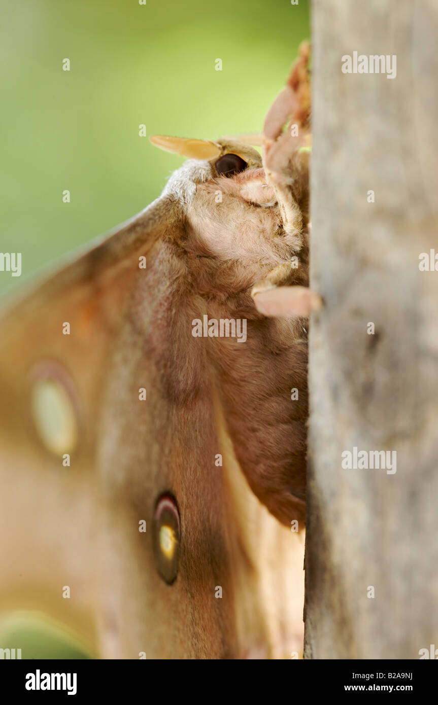 close up portrait of brown butterfly - Stock Image