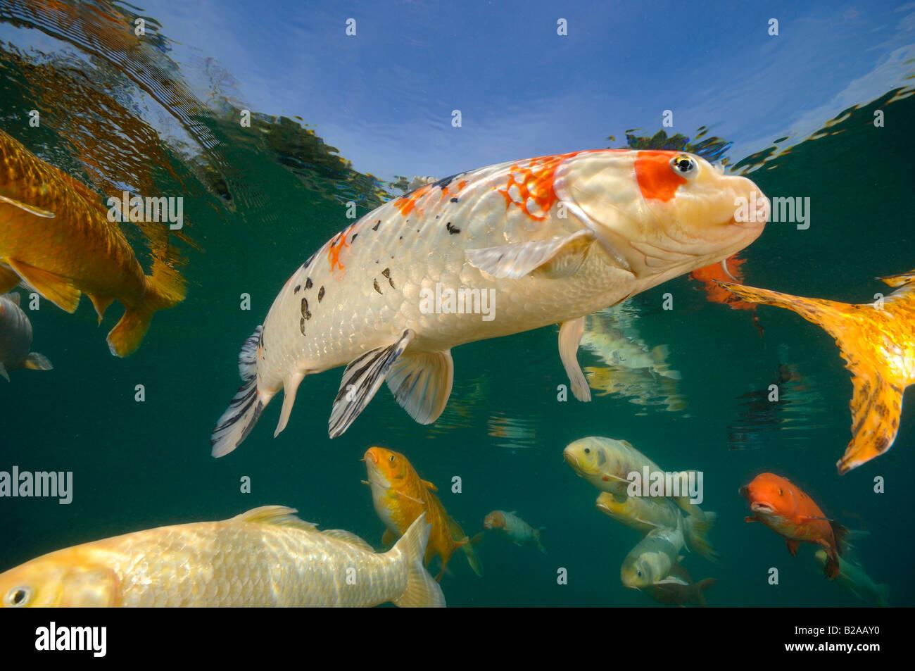 Koi are freshwater carp raised in ponds - Stock Image