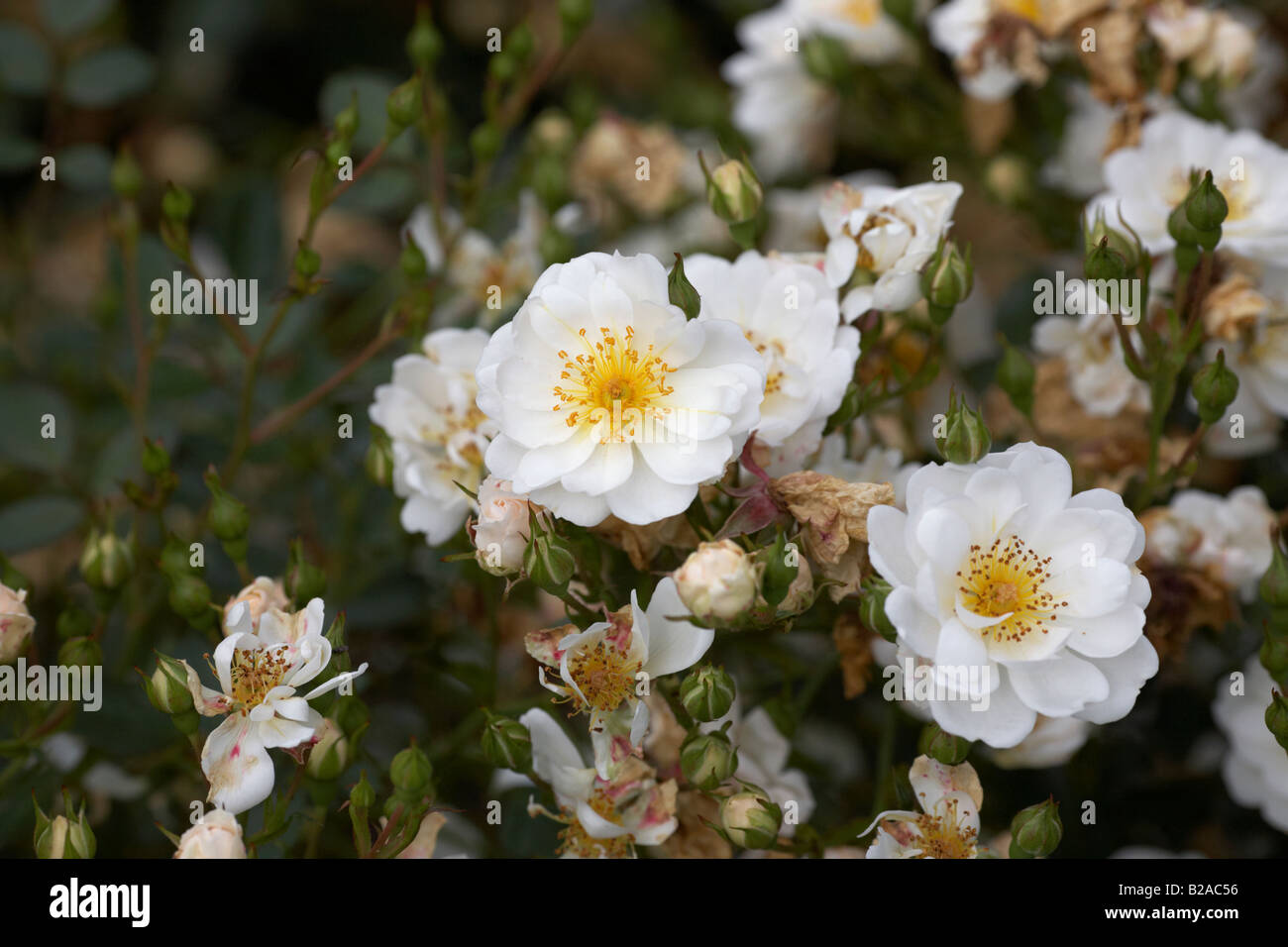 newly wed dicwhynot mini groundcover white flowering rose - Stock Image