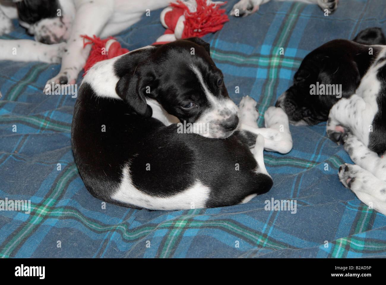 English Pointer Puppy Stock Photos & English Pointer Puppy Stock ...