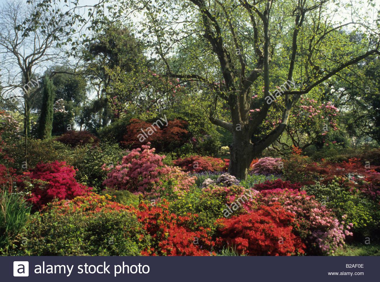 Exbury Hampshire Rhododendrons and Azaleas in woodland garden Stock ...