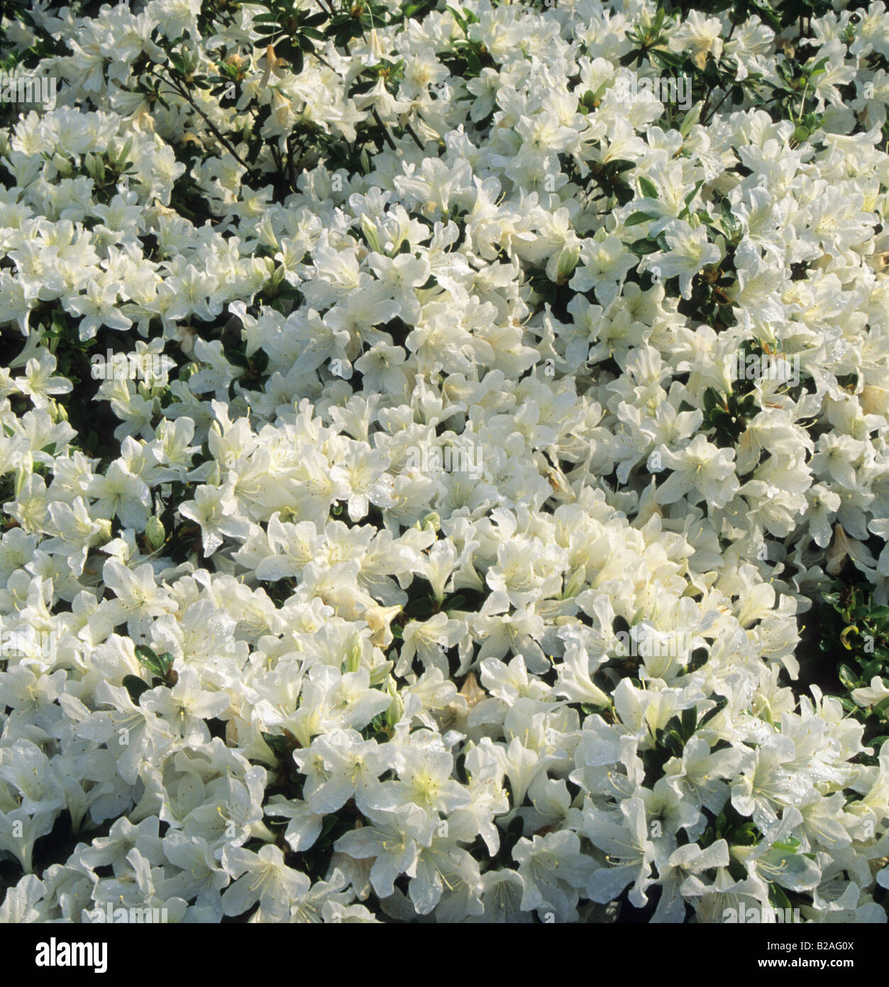 azalea Rhododendron Driven Snow - Stock Image