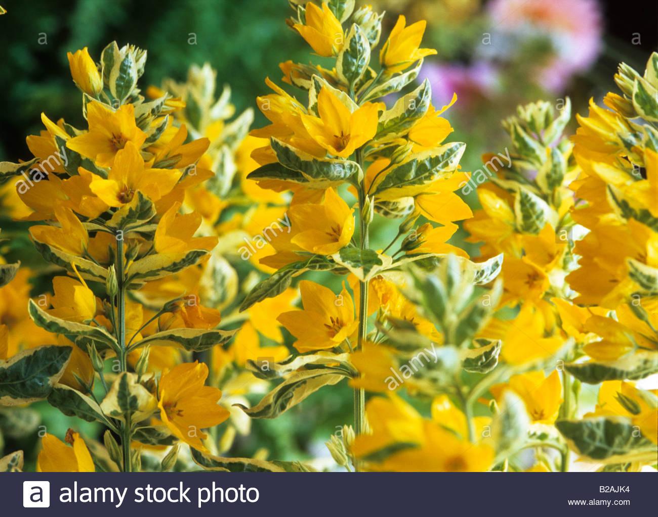 Yellow loosestrife lysimachia punctata alexander summer flower stock yellow loosestrife lysimachia punctata alexander summer flower perennial mightylinksfo