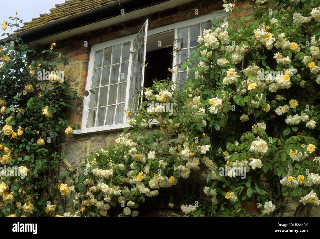f5b595360 Coombland Sussex climbing rose Rosa Lawrence Johnson and Alister Stella  Grey on house wall - Stock