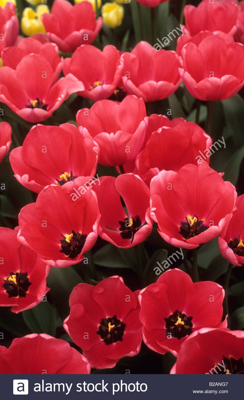 Tulipa Pink Impression - Stock Image