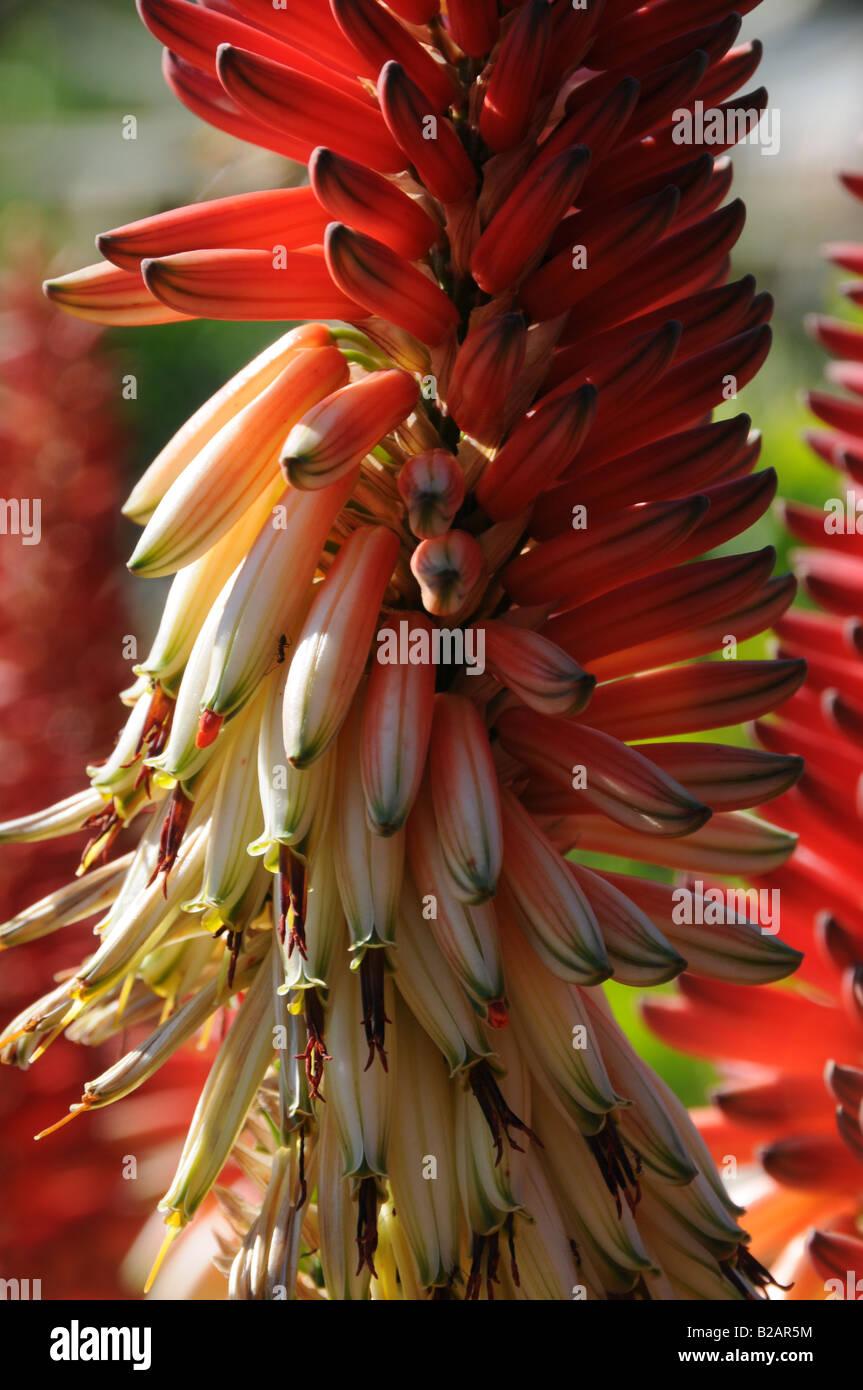 Bicoloured Aloe flowers Stock Photo