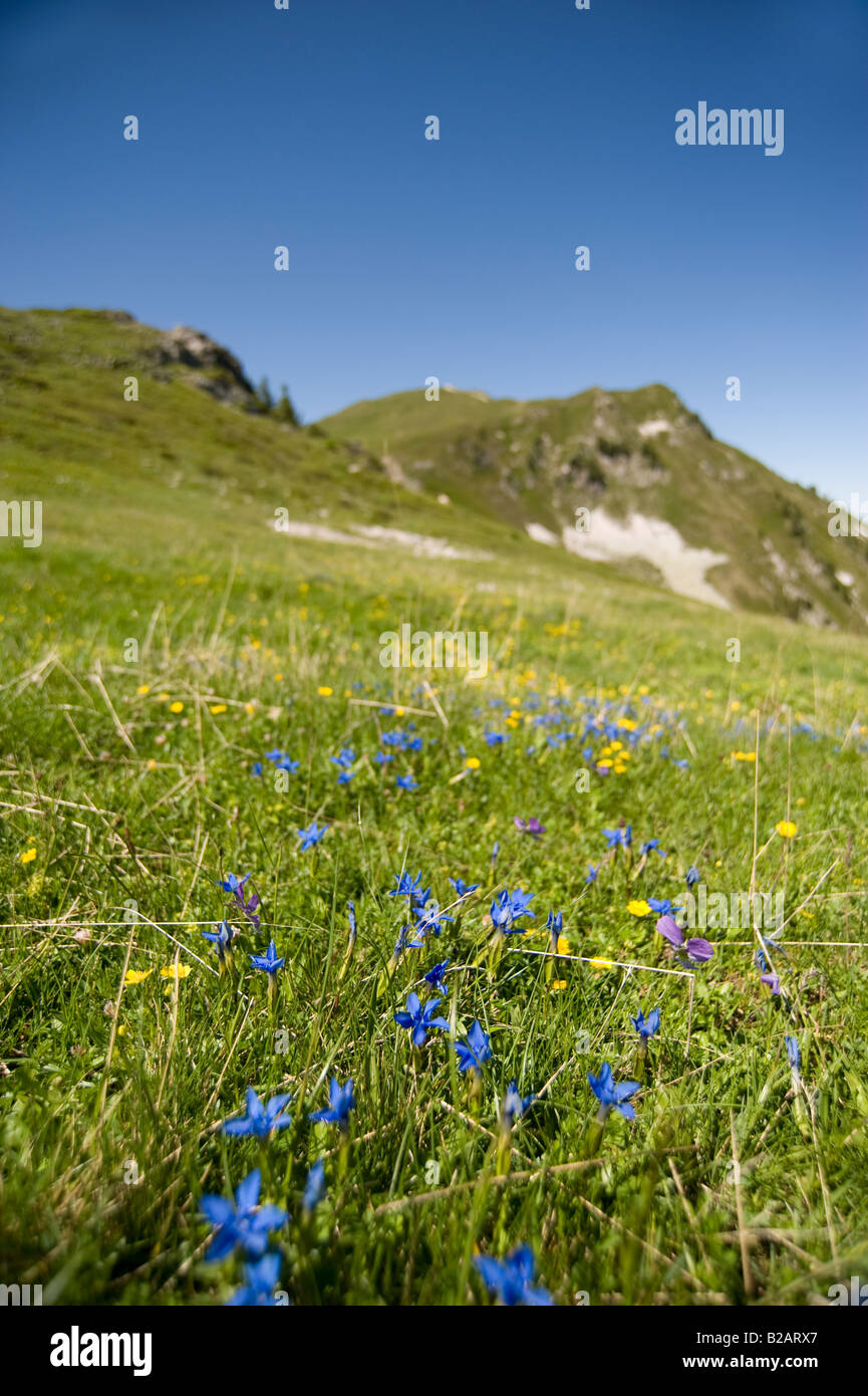 hillside with gentians in the french alps - Stock Image