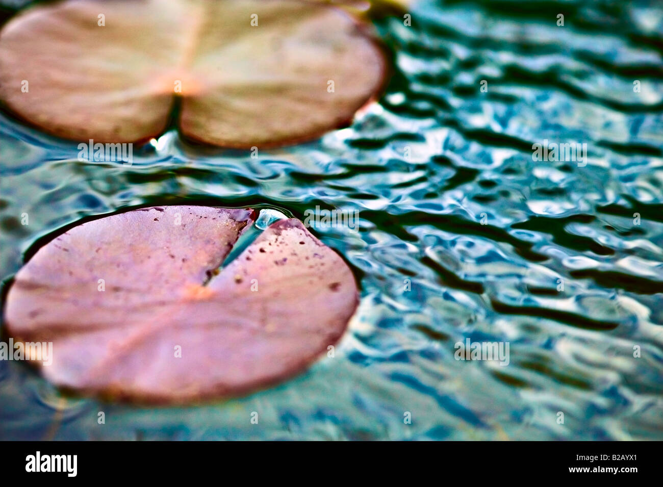 [close up] of lily pad at dusk - Stock Image
