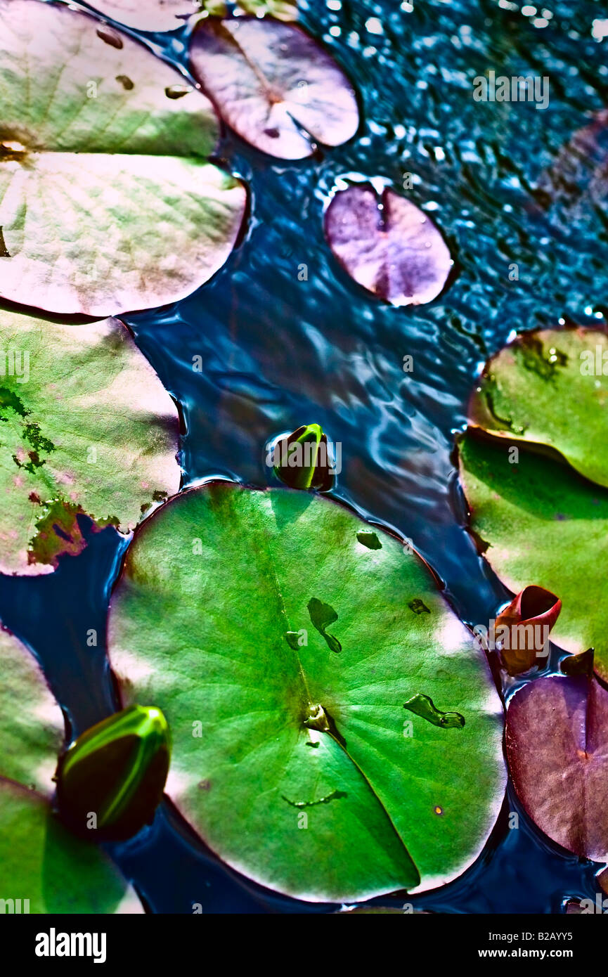 lily pad and waterlily buds [high angle] and sideways view - Stock Image