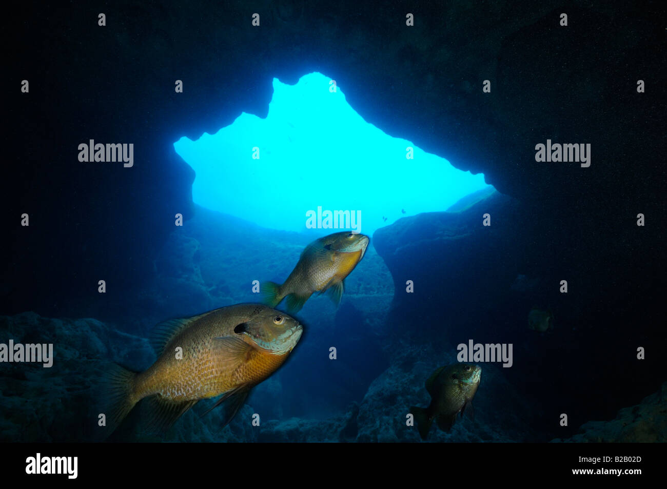 Bluegill Lepomis macrochirus Florida Stock Photo