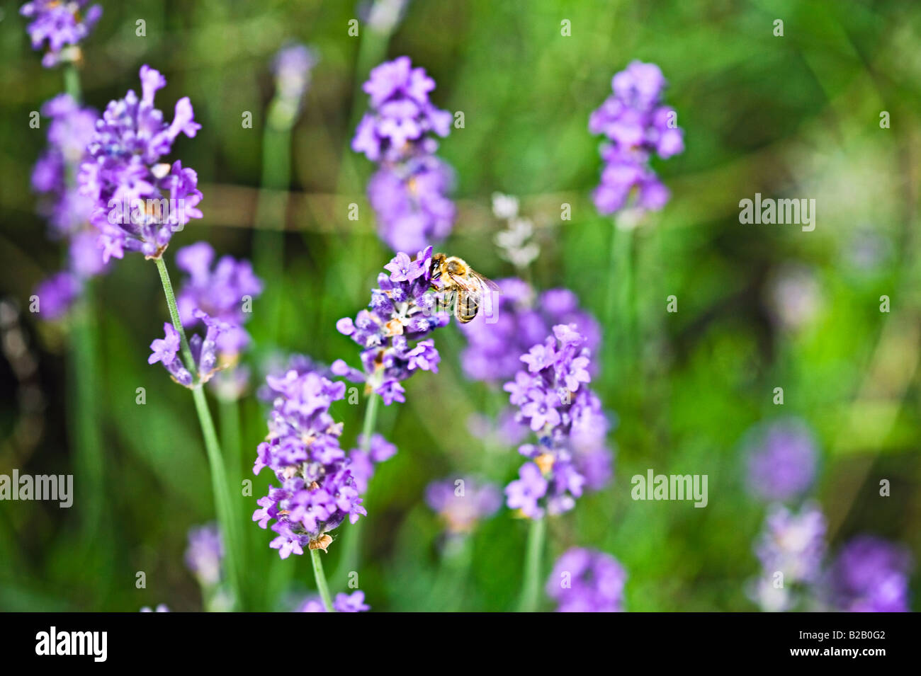 honey bee feeding on lavender nectar - Stock Image