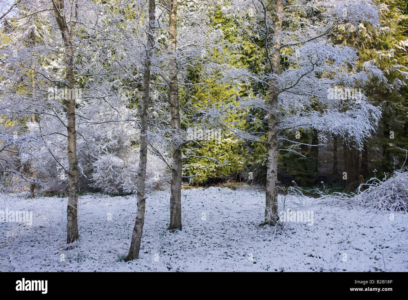Snow covered Silver Birch trees at Swinbrook in Oxfordshire England United Kingdom - Stock Image