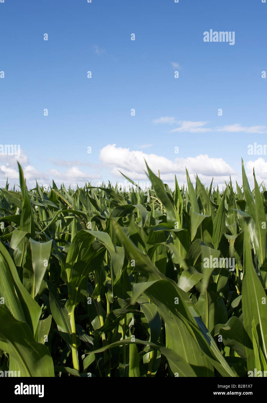 Field of young maize plants against blue sky - Stock Image