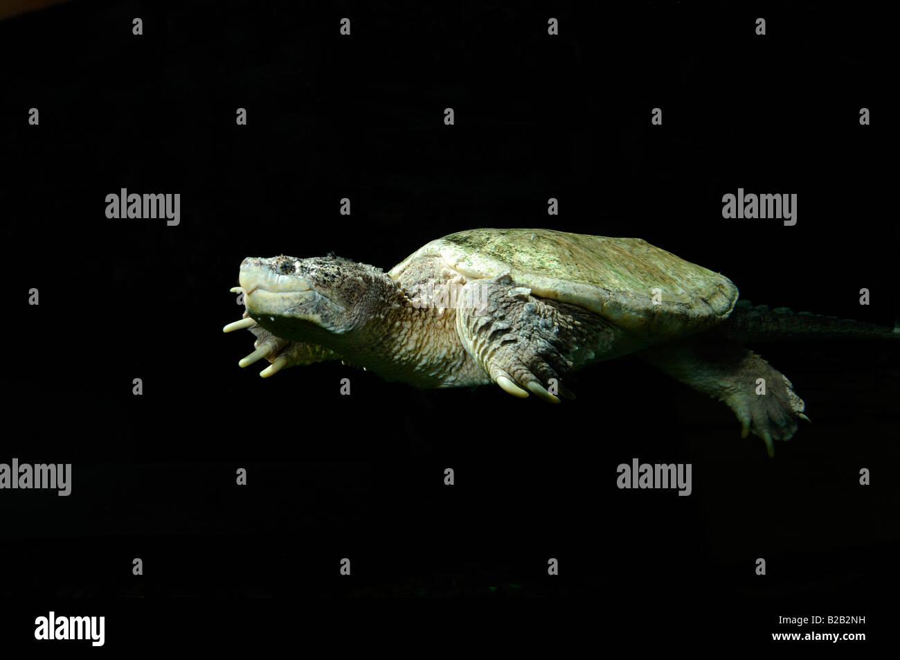Alligator snapping turtle Macrochelys temminckii captive Florida - Stock Image