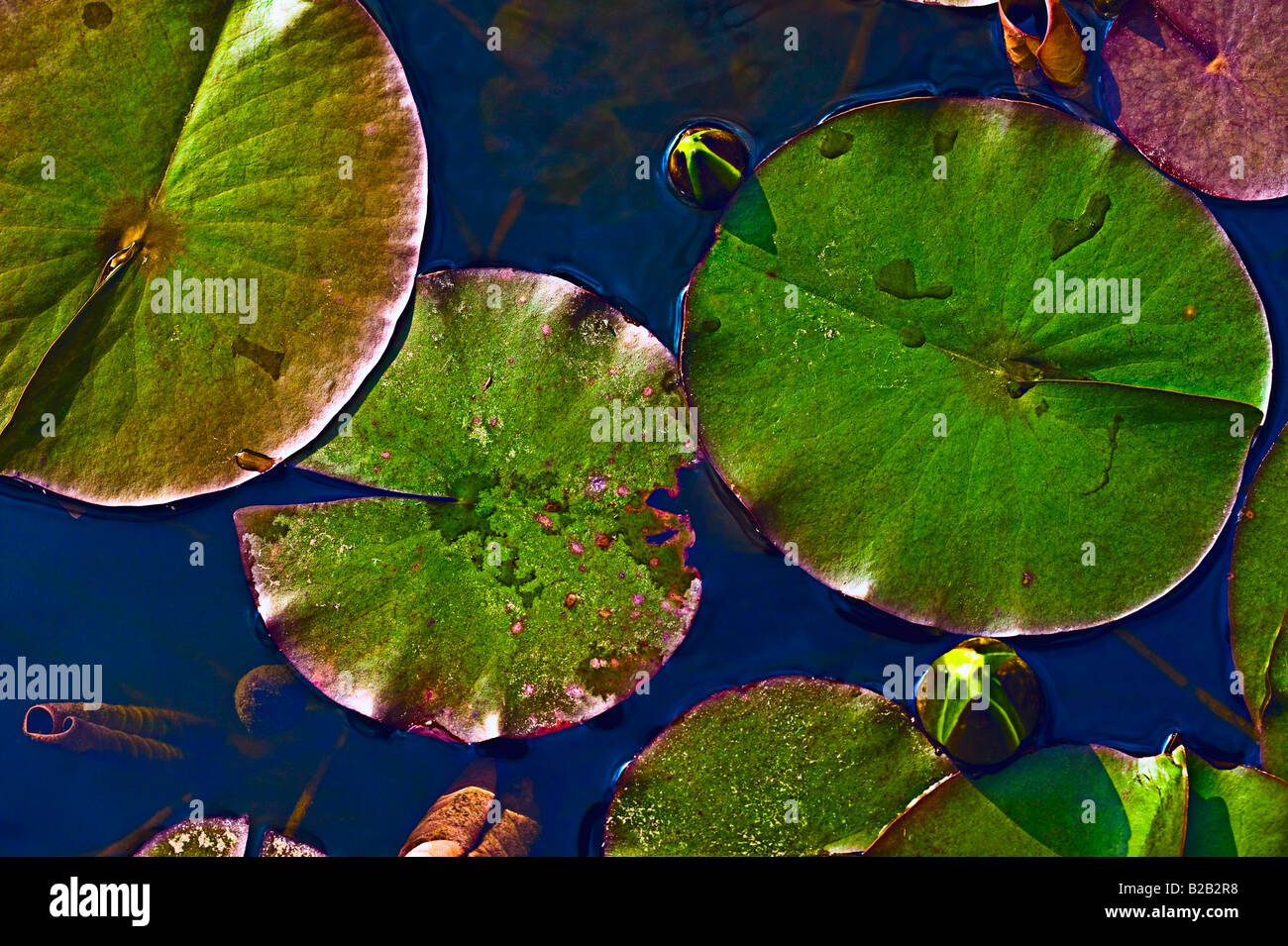 lily pad and waterlily buds[High angle view] - Stock Image