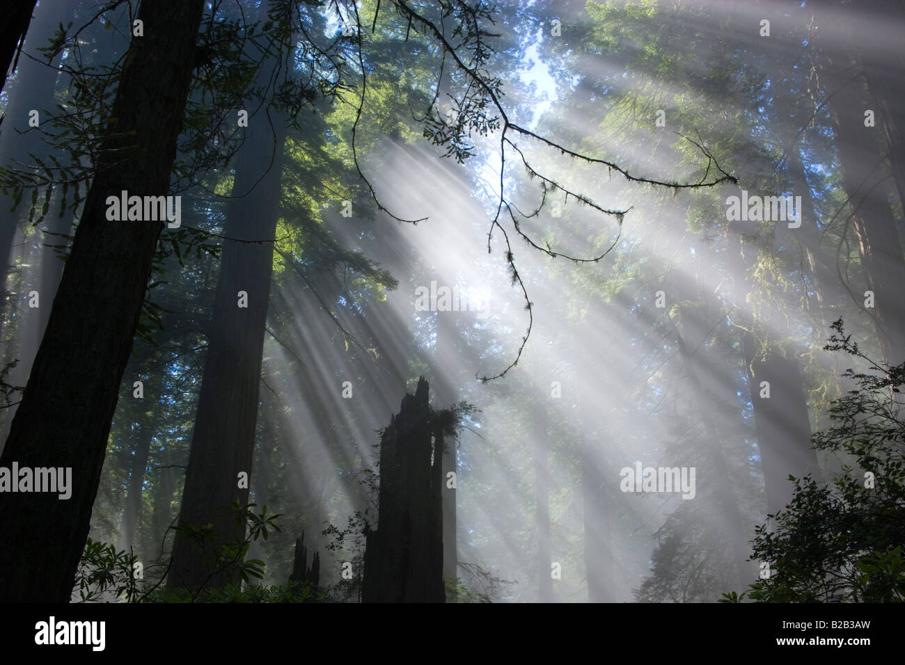 Sun rays filtering through foggy Redwood Forest. - Stock Image