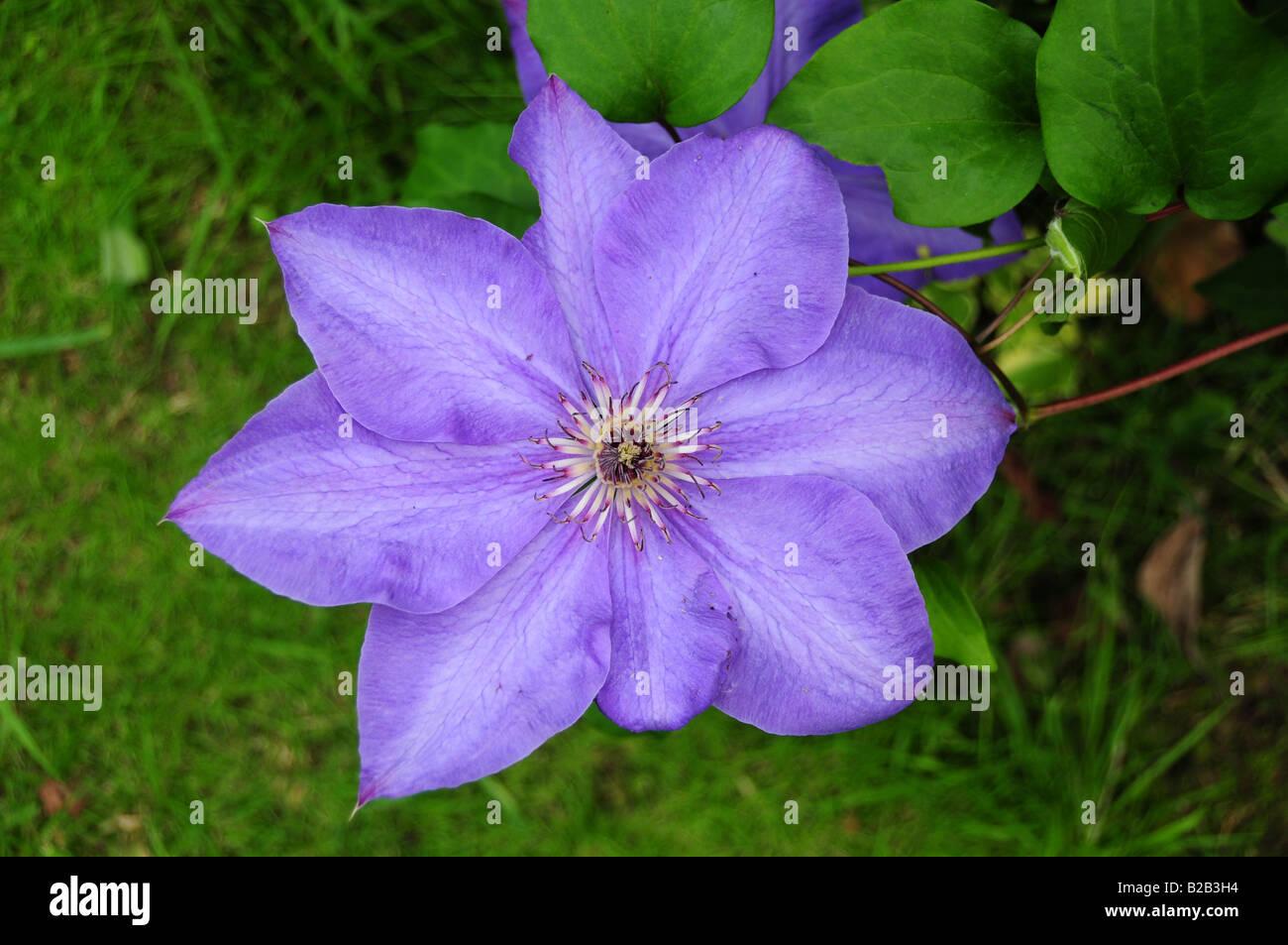 Clematis flower - 'Elsa Spath' - Stock Image