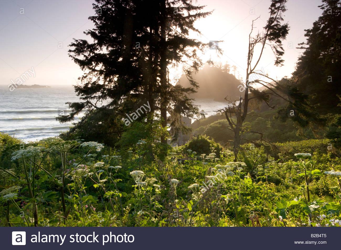 Cow Parsnip Heracleum maximum Trinidad State Beach California - Stock Image