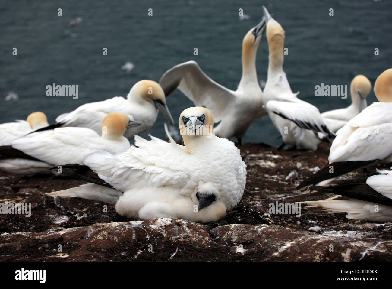 Gannet and chick - Stock Image