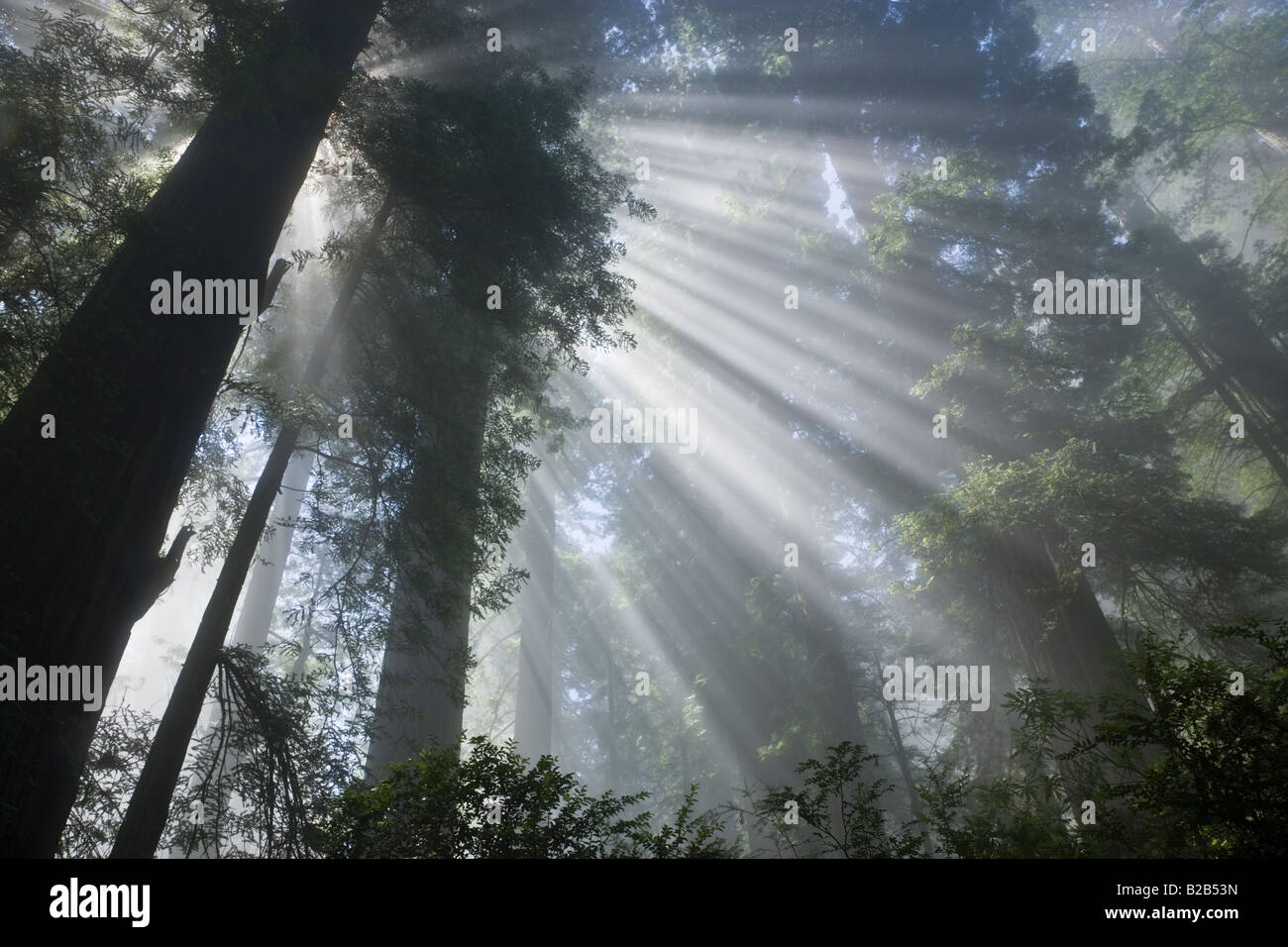Sun rays filtering through foggy Redwood Forest - Stock Image