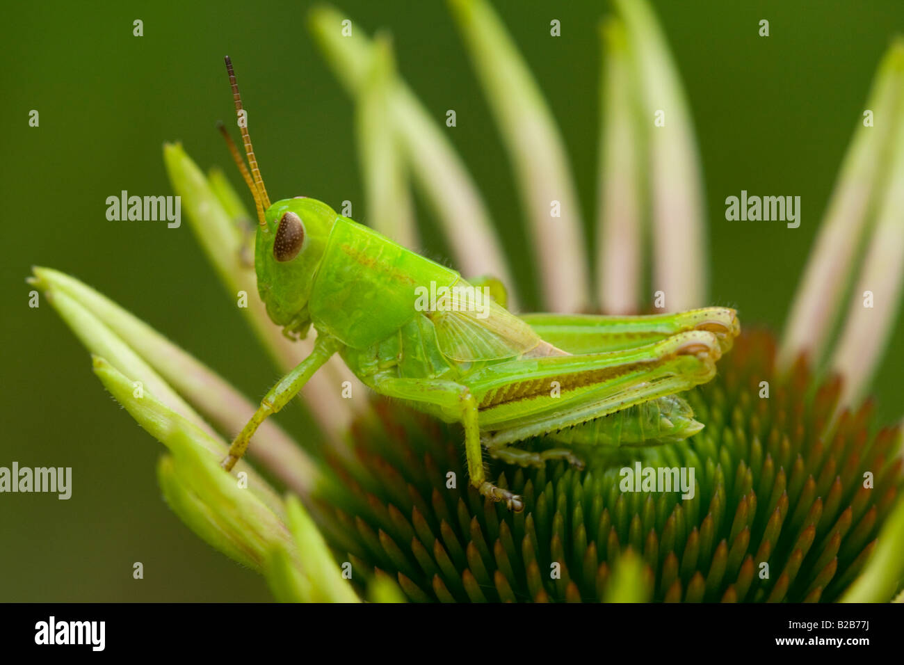Green Grasshopper on an Opening Coneflower - Stock Image