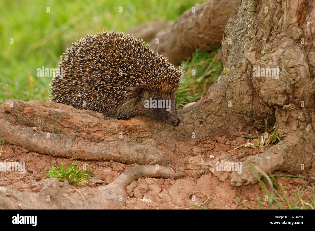 Hedgehog Erinaceus europaeus summer West Midlands - Stock Image