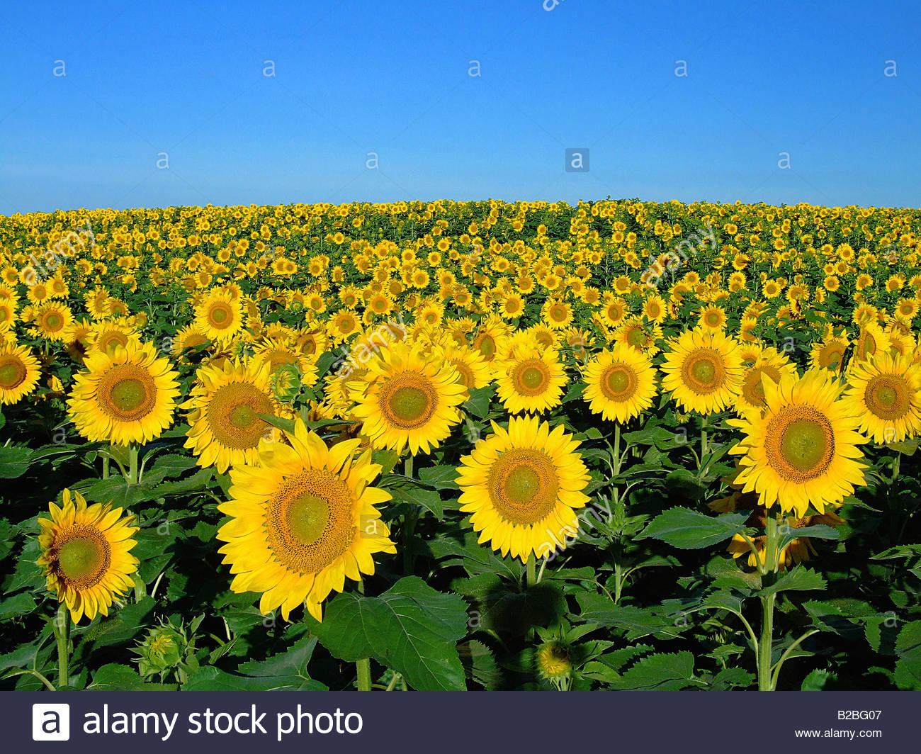 Field of sunflowers - Stock Image