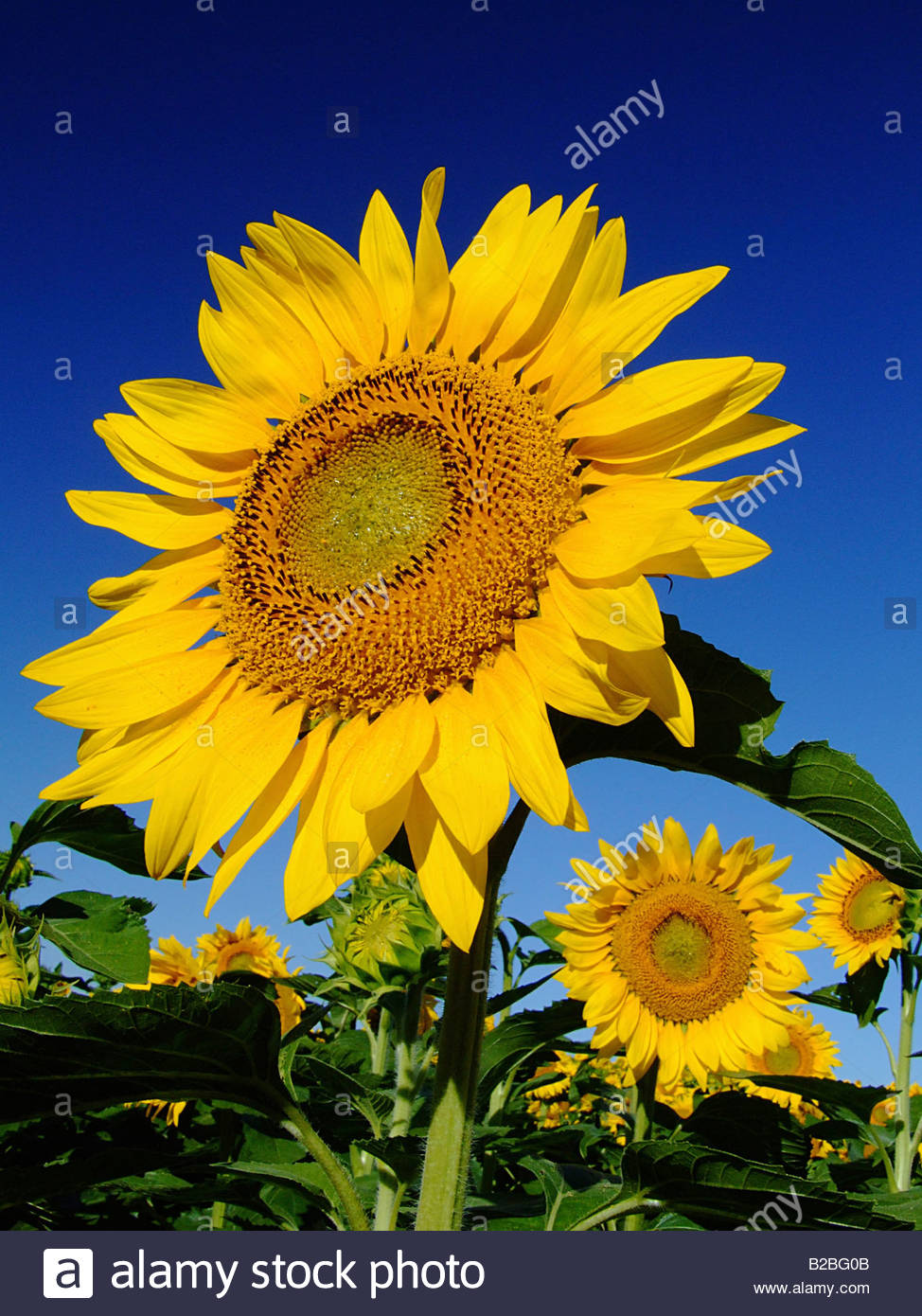 Close up of sunflower - Stock Image