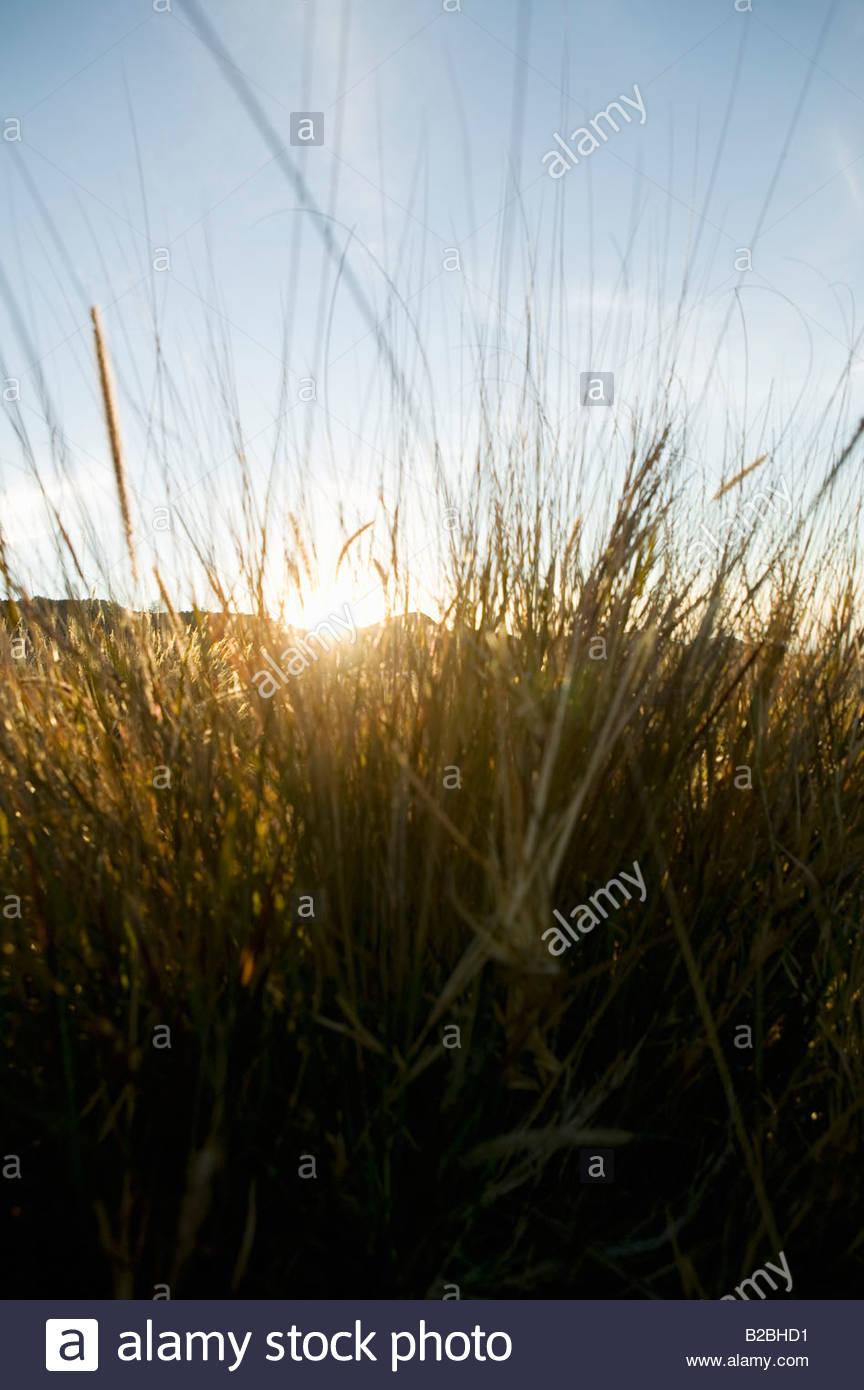 Sun shining through grass - Stock Image