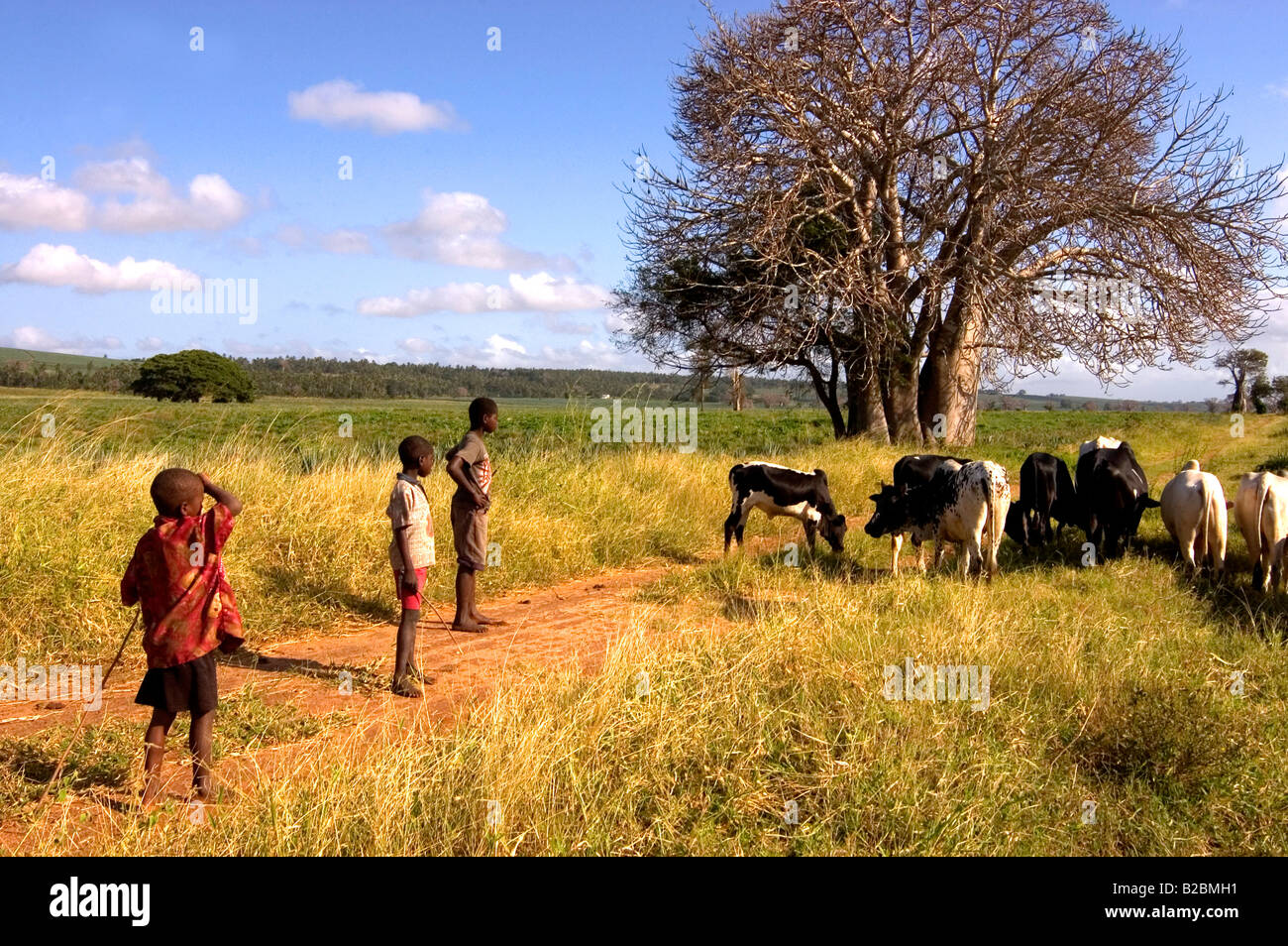 Children tending cattle in the hinterland between Mombassa and Malindi Kenya East Africa - Stock Image