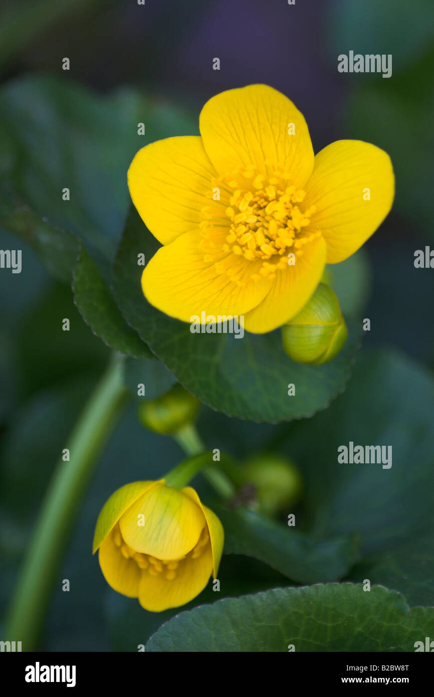 Kingcup, Marsh Marigold (Caltha palustris) in the Eyach Valley, Northern Black Forest, Baden-Wuerttemberg, Germany, Stock Photo