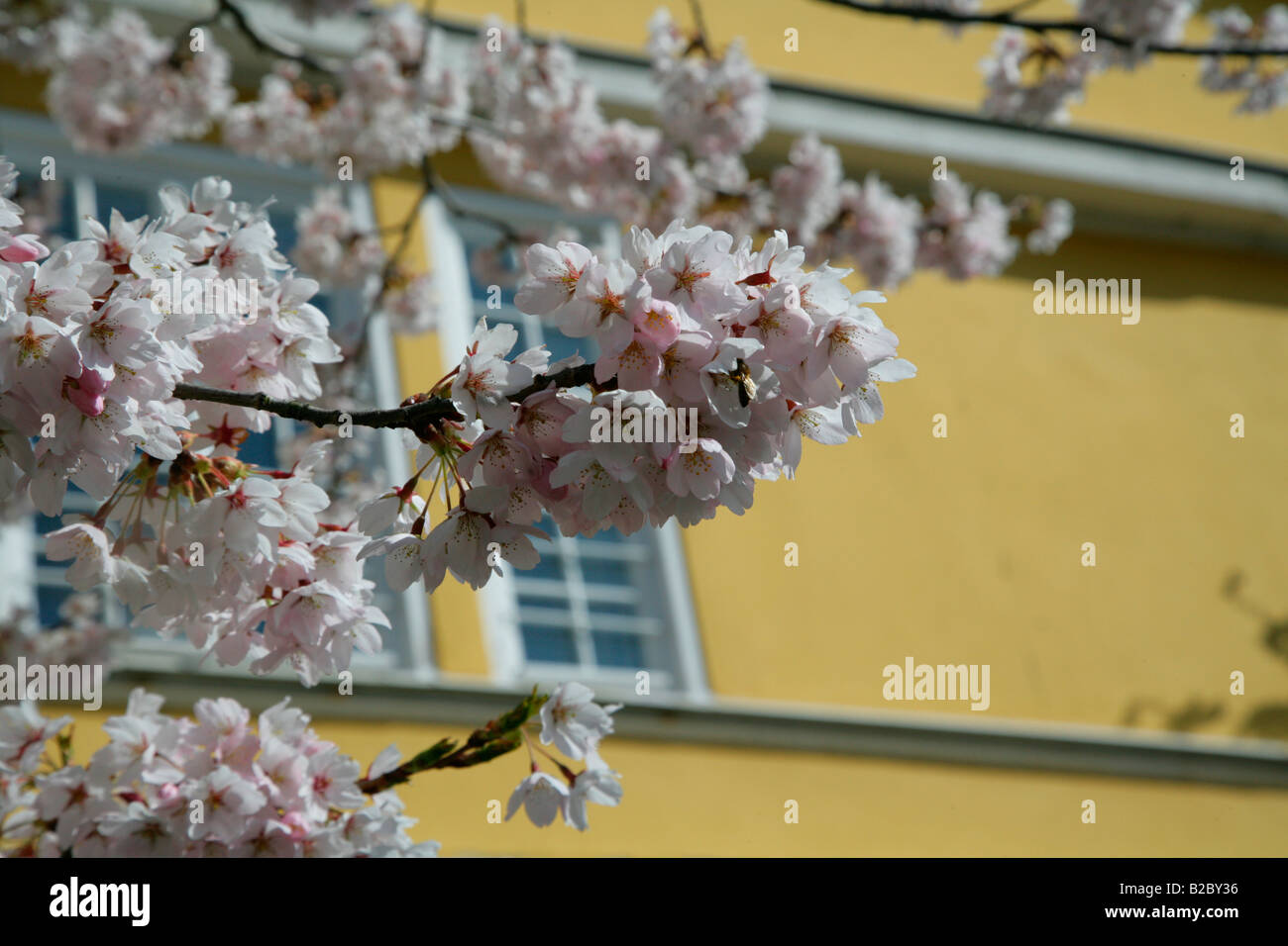 Cherry Blossom (Cerasus) in front of the Marstall stables, Schloss Wilhelmshoehe Palace, Kassel, Northern Hesse, - Stock Image