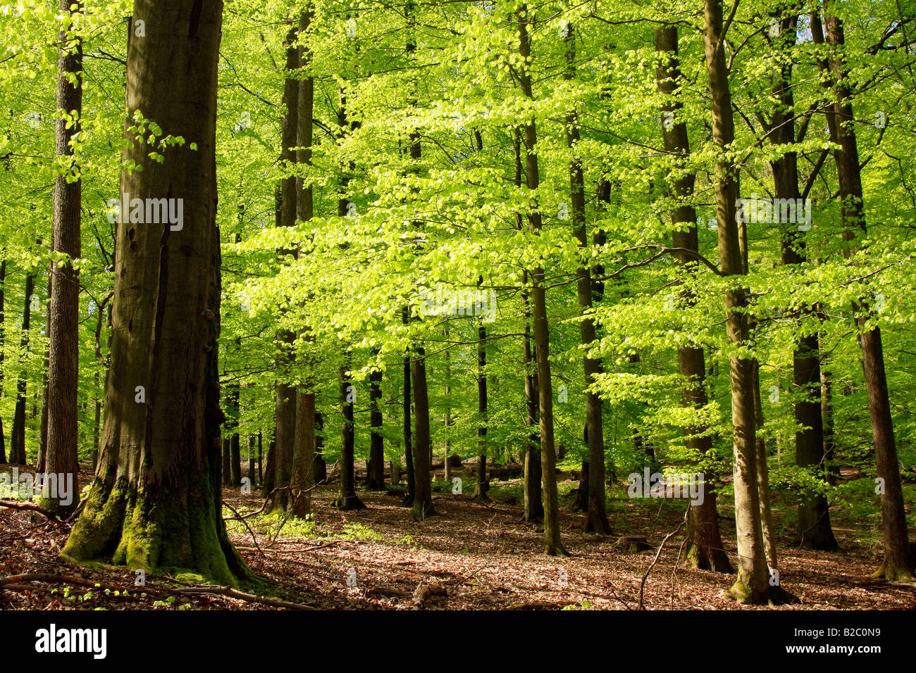 Beech forest in May, spring - Stock Image