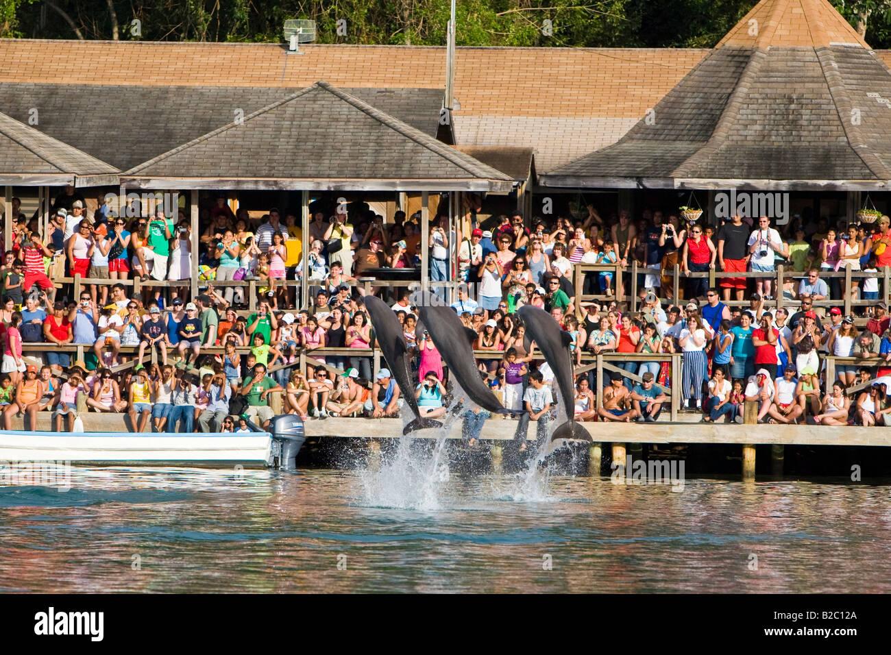 Dolphin show at a tourist resort, Bottlenose Dolphin (Tursiops truncatus), Roatán, Honduras, Central America - Stock Image