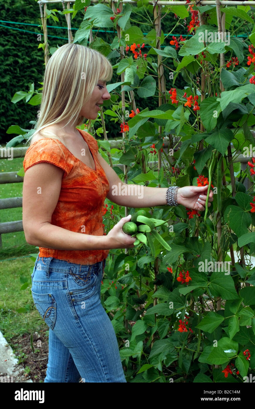 Woman picking runner beans in country garden southern England UK - Stock Image