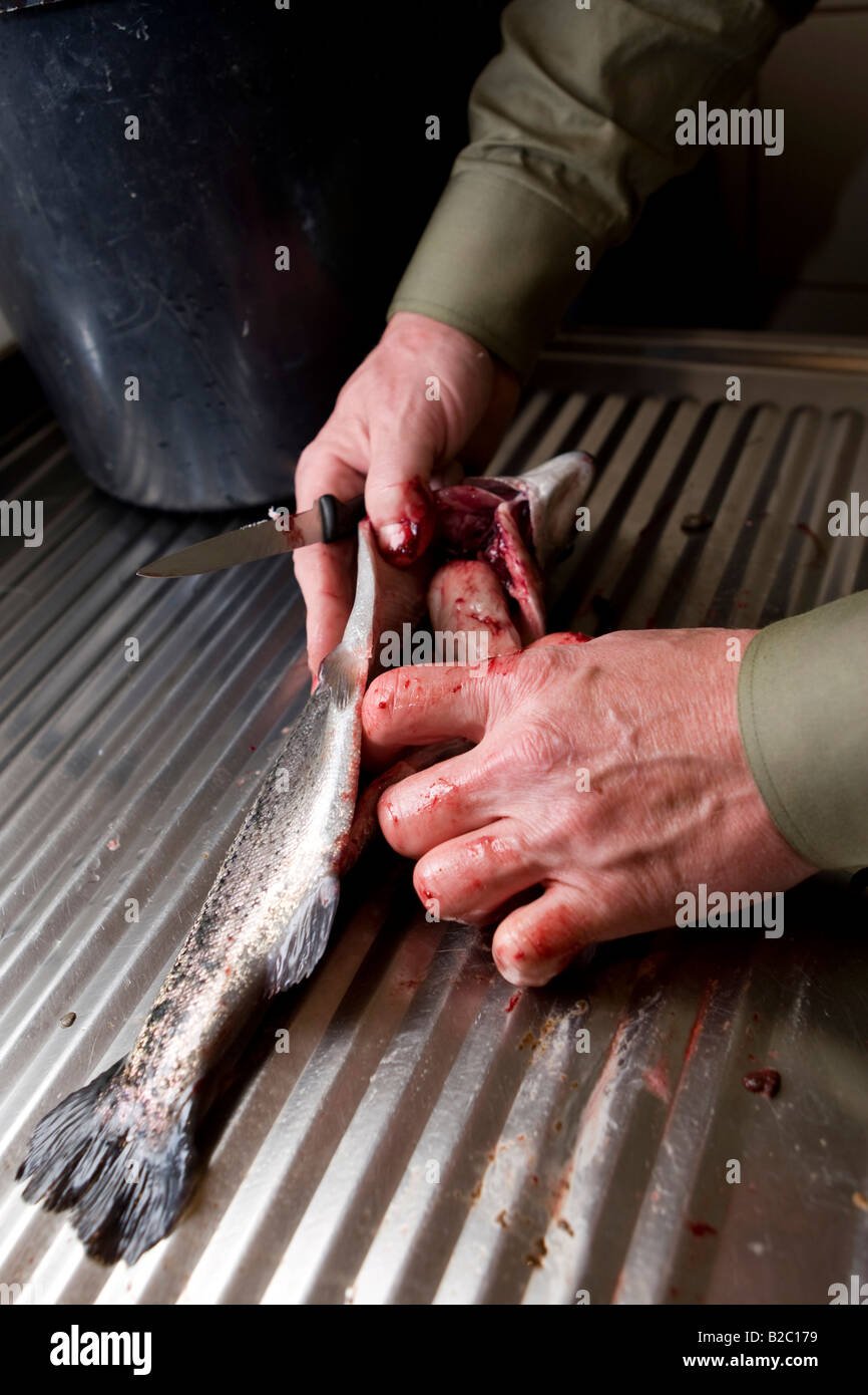 A Rainbow Trout (Oncorhynchus mykiss) being gutted, Styria, Austria, Europe - Stock Image