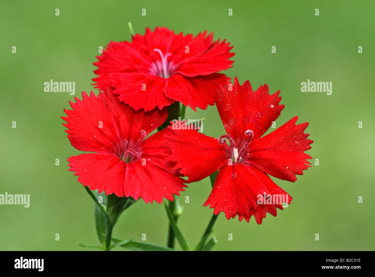 Sweet William (Dianthus barbatus), flowers, Heddesheim, Baden-Wuerttemberg, Germany, Europe Stock Photo