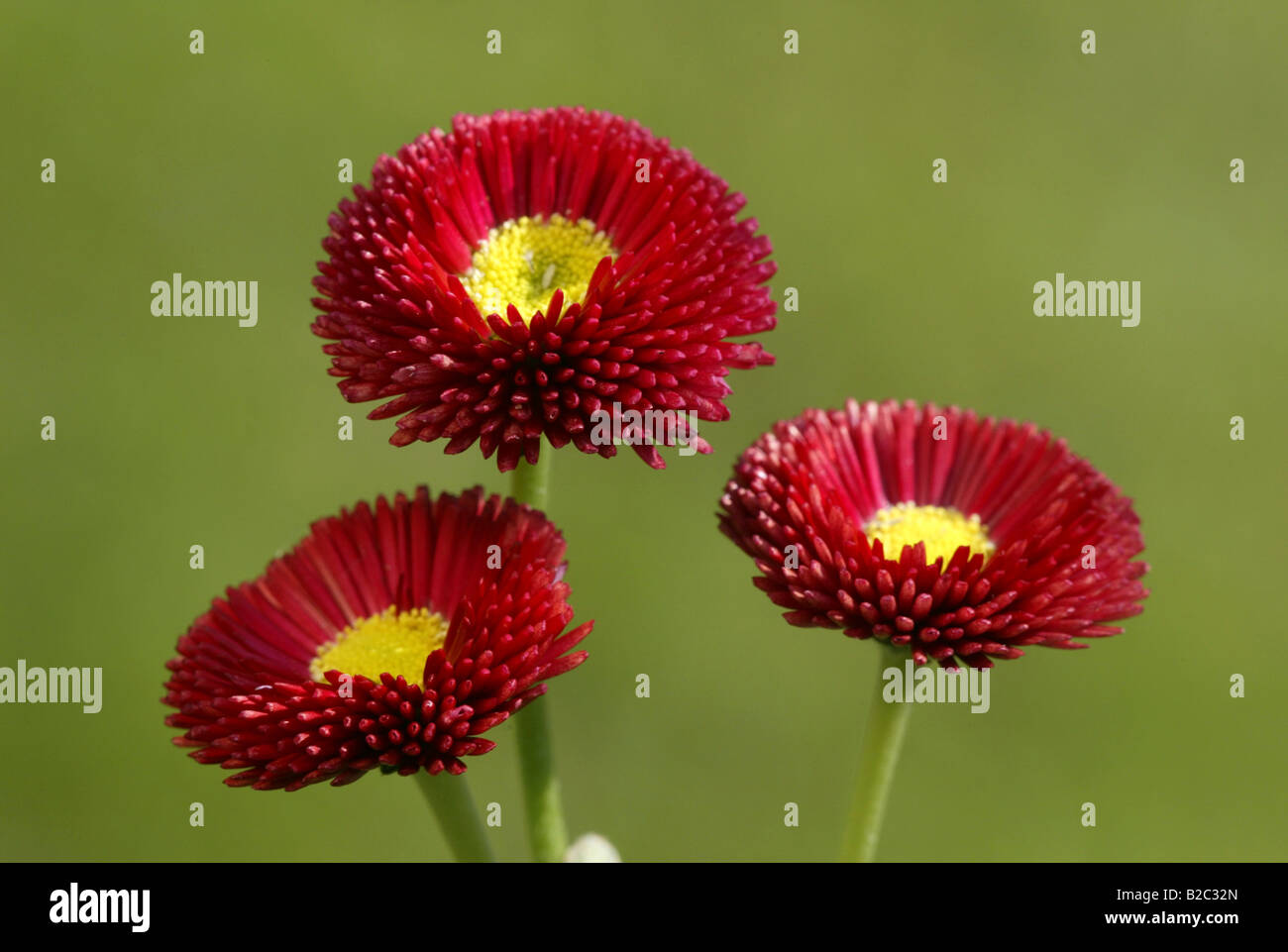 Common Daisy, Lawn Daisy (Bellis perennis), cultivated form, Heddesheim, Germany - Stock Image