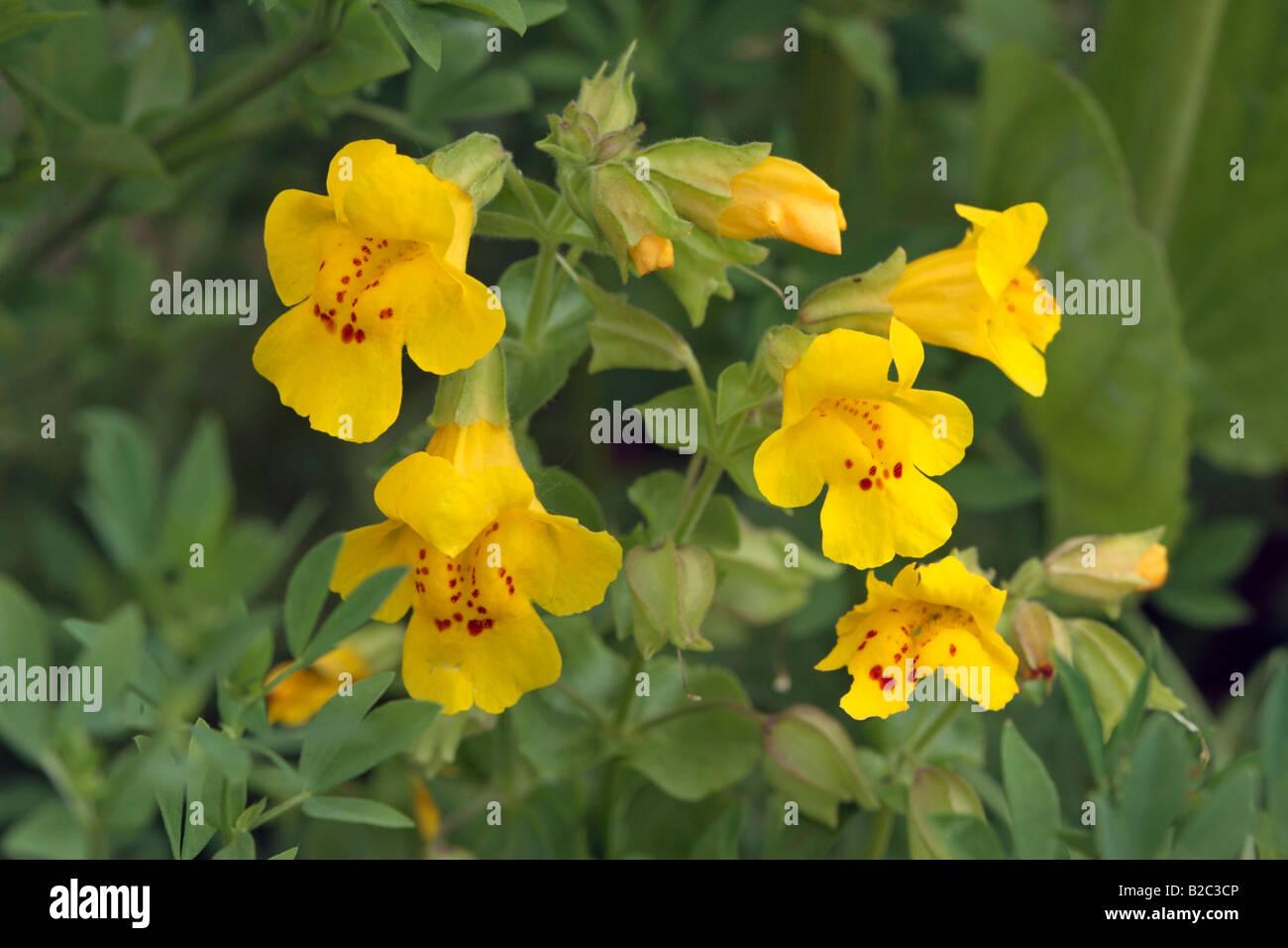 Allegheny monkey flower mimulus ringens yellow flowers stock allegheny monkey flower mimulus ringens yellow flowers mightylinksfo