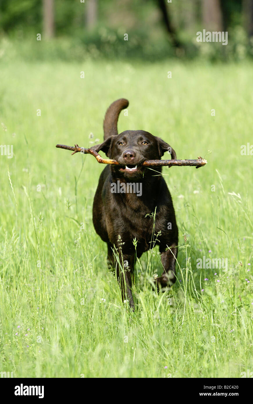 Labrador, short-haired type, running with a stick in a meadow - Stock Image