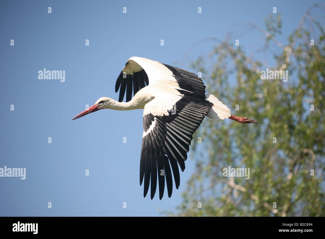 White Stork (Ciconia ciconia), flying Stock Photo