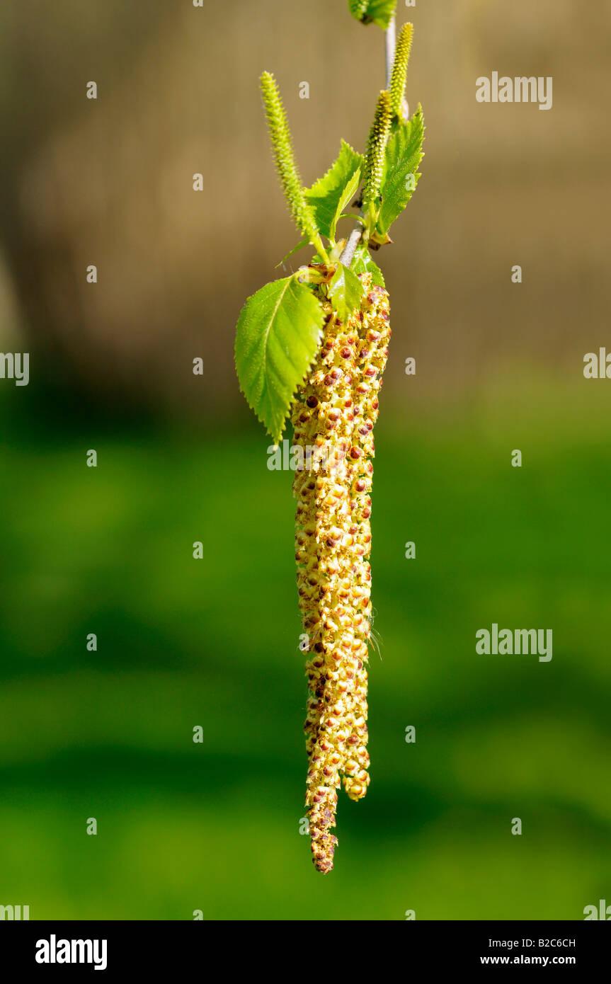 Male bloom of the Silver Birch (Betula pendula) - Stock Image
