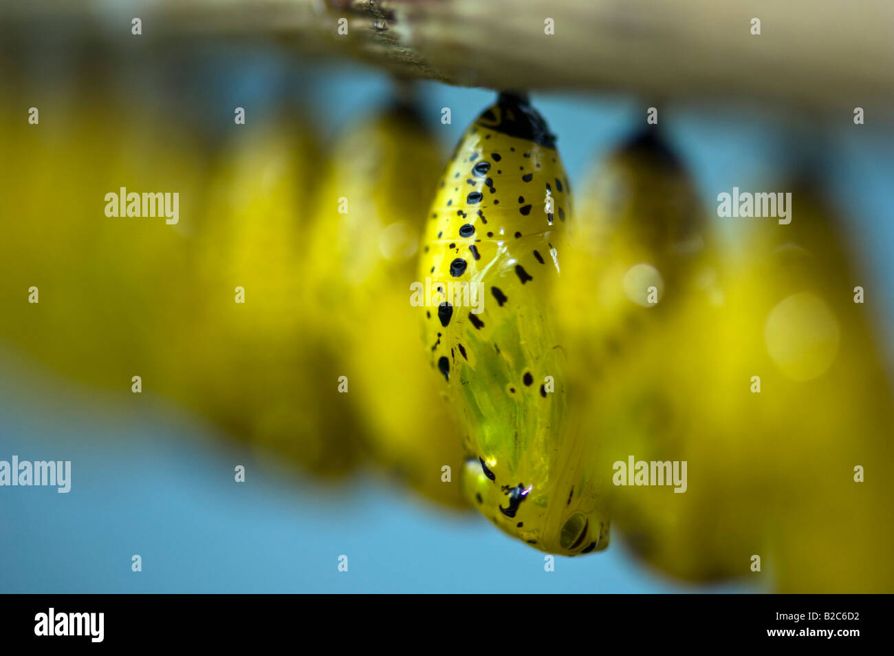 Paper Kite or Rice Paper butterfly (Idea leuconoe), pupae - Stock Image
