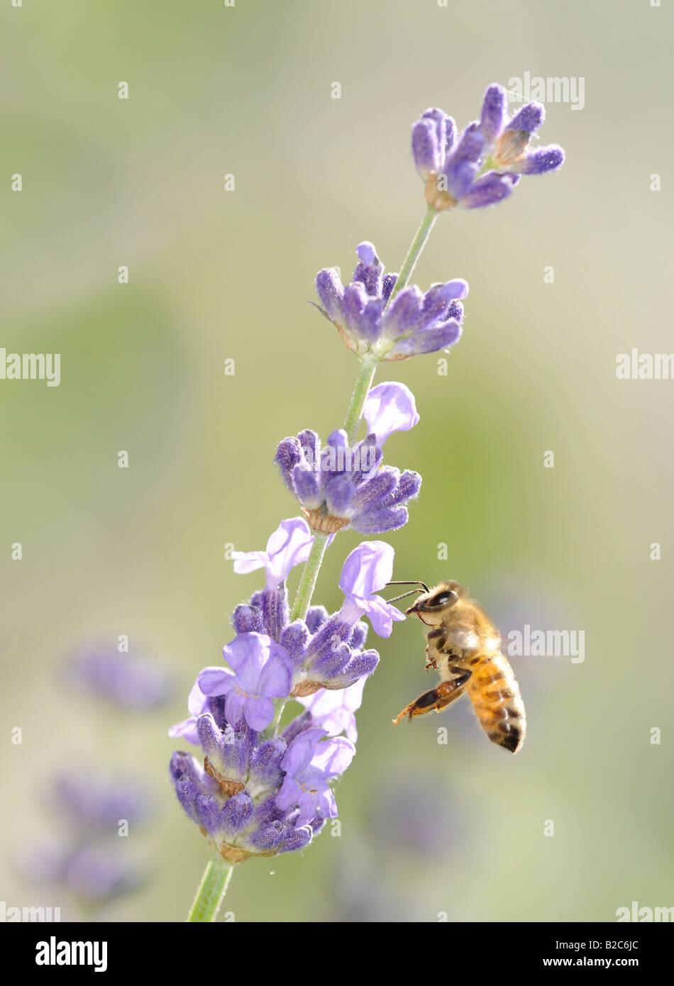 Honey bee (Apis) on Lavender (Lavandula angustifolia) - Stock Image
