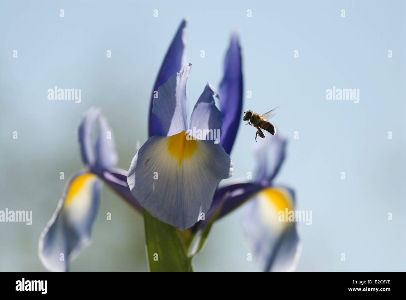 Western or European Honey Bee (Apis mellifica) pollinating an Iris (Iris), Cannes, Alpes Maritimes, France, Europe - Stock Image
