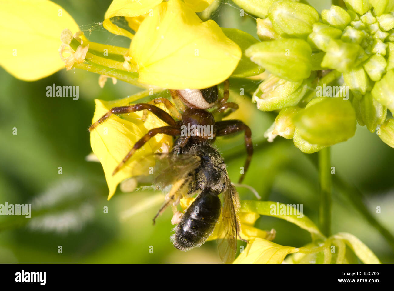 Crab Spider (Synaema globosum) with its prey, a bee, Western or European Honey Bee (Apis mellifera) - Stock Image