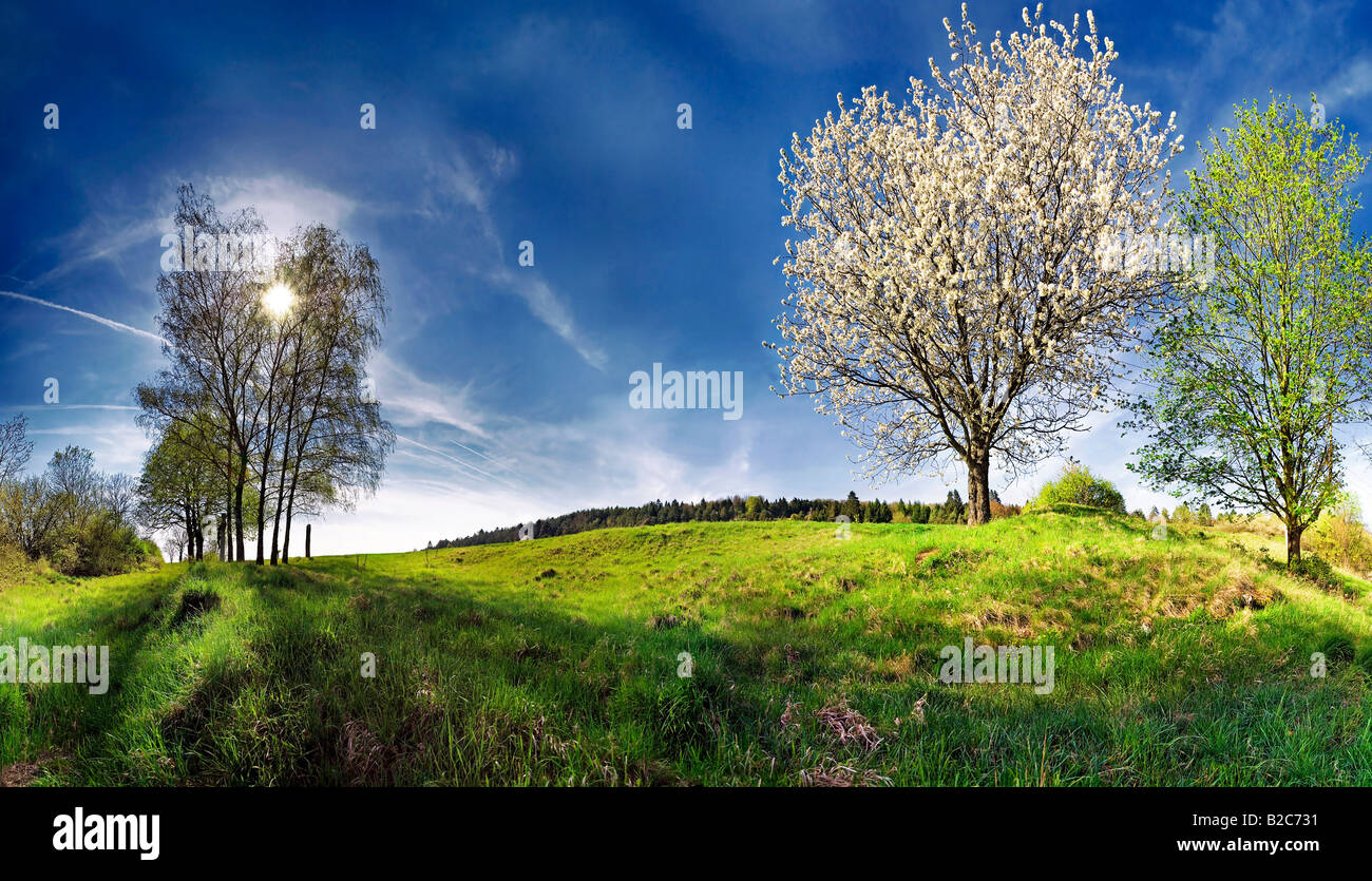 Blooming Apple Tree (Malus) and Birch Trees (Betula) on a juicy green spring meadow - Stock Image