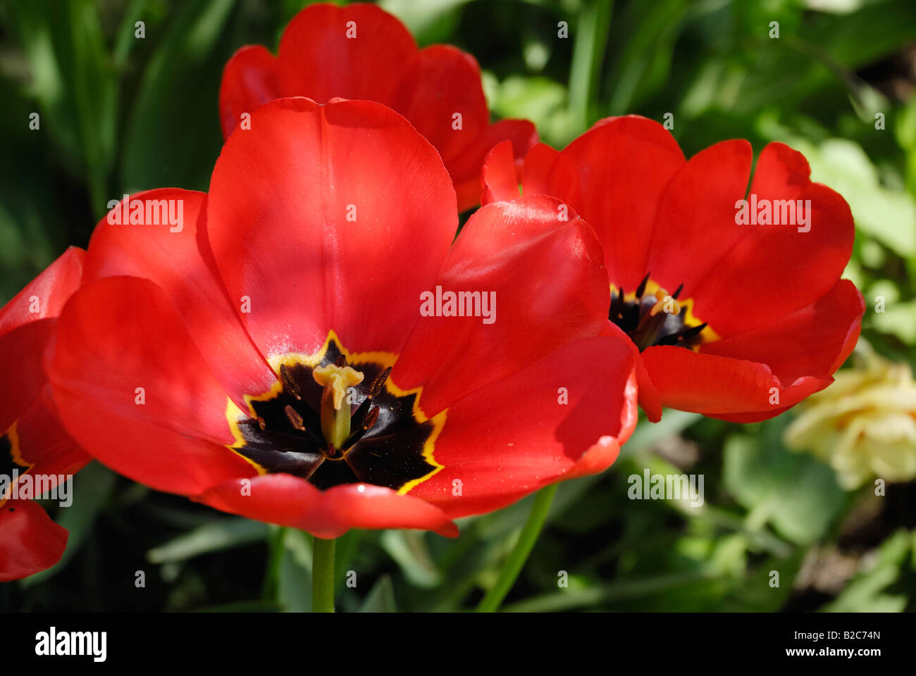 Red Tulip flower (Tulipa) - Stock Image