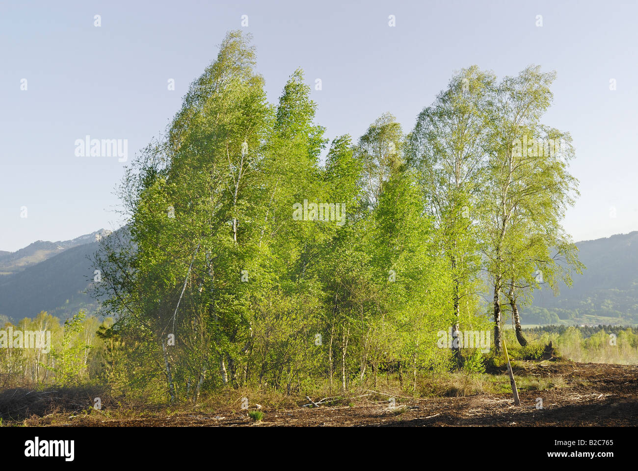 New leaves on a group of wind-bent Downy, White or Hairy Birches (Betula pubescens) in a marsh, Raubling, Bavaria - Stock Image