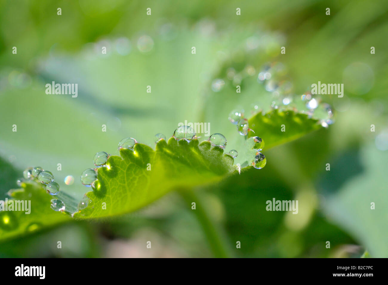Drops of water on the leaf of a Lady's Mantle (Alchemilla) Stock Photo